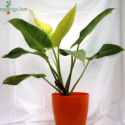 Philodendron 'Imperial Golden' Plant