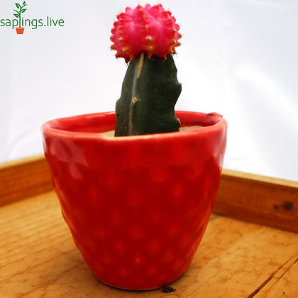 Moon Cactus or Ruby Ball Cactus (Grafted Pink) Plant