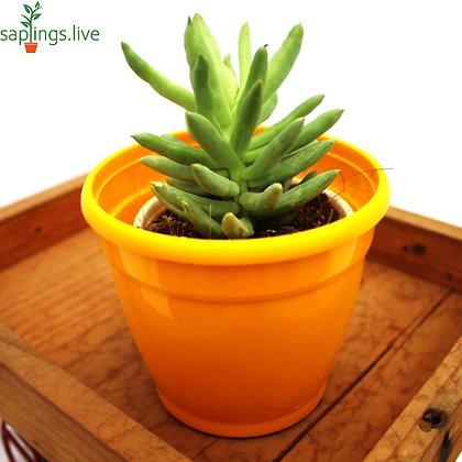 Pachyphytum Hookeri Succulent