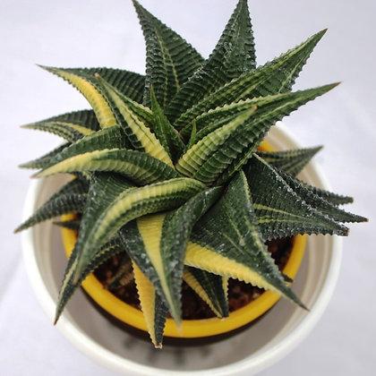 Variegated Haworthia Limifolia (Fairy Washboard)