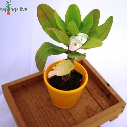 Euphorbia milii f. Lurea (Yellow Crown of Thorns)
