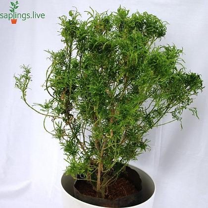 Ming Aralia (Polyscias Fruticosa)