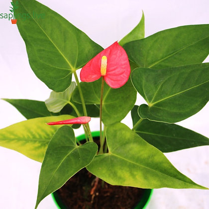 Anthurium 'Red' Indoor Plant