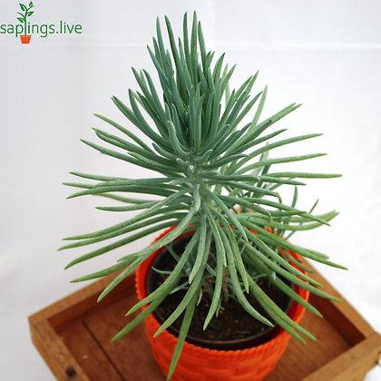 Senecio Cylindricus 'Pencil Succulent'