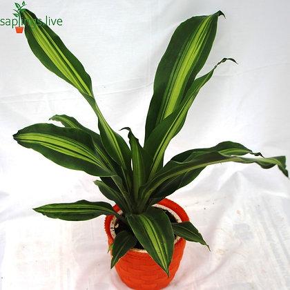 Dracaena Fragrans Masangeana (Corn Plant)