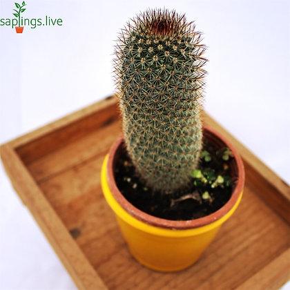 Mammillaria Bombycina (Pincushion Cactus brown)