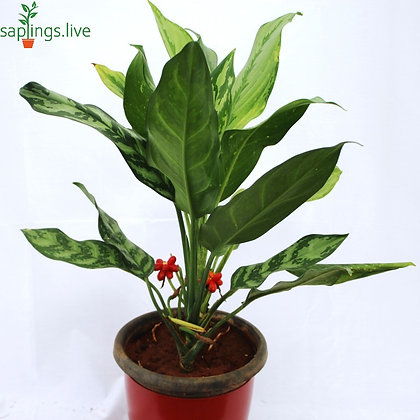 Aglaonema Commutatum (Chinese Evergreen) Plant