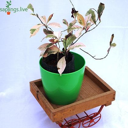 Chinese Croton (Excoecaria cochinchinensis) Plant