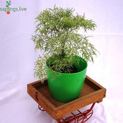 Polyscias Fruticosa or Variegated Ming Aralia Plant