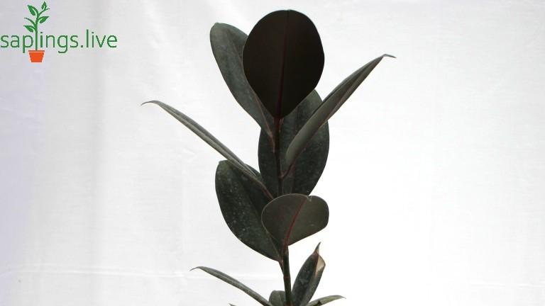 20 Best Office Plant - Ficus Elastica ( Rubber Plant )