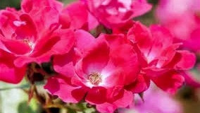 20 Best Low Maintenance Plant - Knock-Out Roses