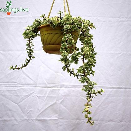 Vriegated Elephant Bush, Jade Plant 'Hanging'