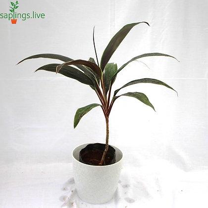 Dracaena Mahatma Plant
