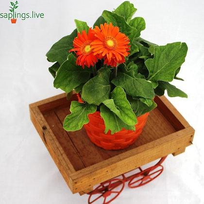 Gerbera Plant 'Orange' Transvaal daisy