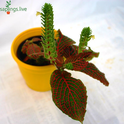 Fittonia Albivenis (Pink Angel)