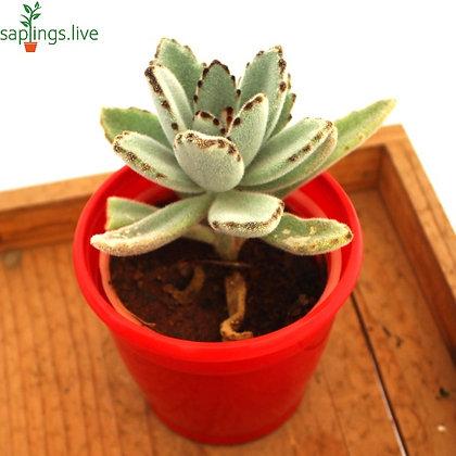 Kalanchoe tomentosa nigra - Succulent Plant