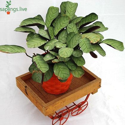 Calathea Burle Marx (Prayer Plant) Plant