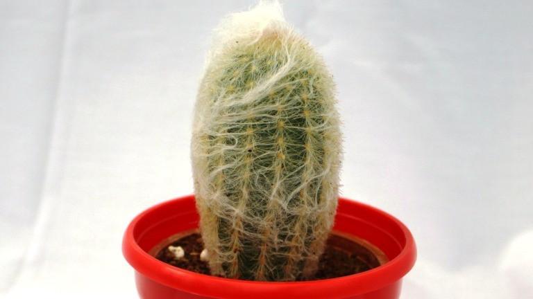 Best Cactus Plants - Old Lady Cactus