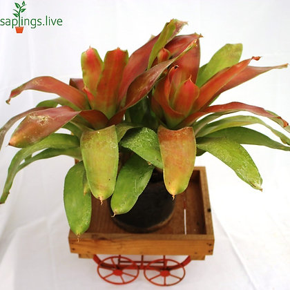 Guzmania Bromeliads (Orange) Plant