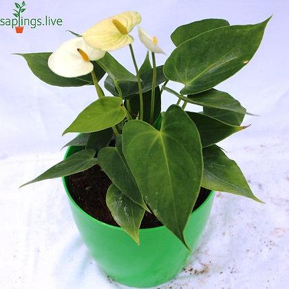 Anthurium 'White' Indoor Plant