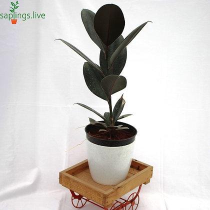 Rubber Plant or Ficus elastica