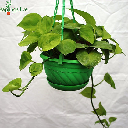 Philodendron hederaceum (Heartleaf Philodendron) Hanging