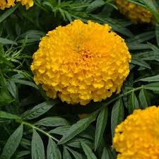 Marigold Flowering Plant