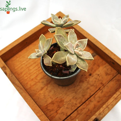Sedeveria Peckerwood Succulent