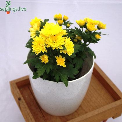 "Chrysanthemum Flowering Plant ""Yellow"""