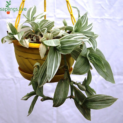 Wandering Jew Plant (Tradescantia fluminensis 'Variegata') Hanging
