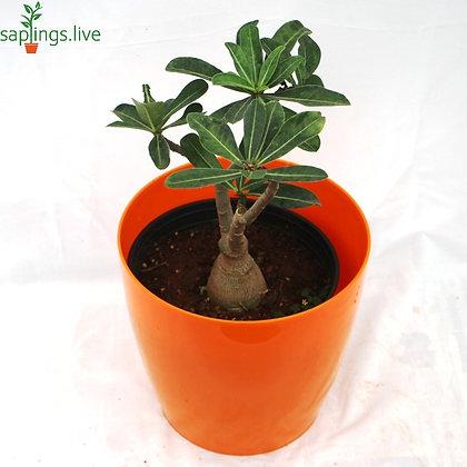 Adenium Obesum (Desert Rose Plant)