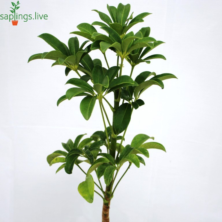 20 Best office Plant - Schefflera Plant (Umbrella plant)