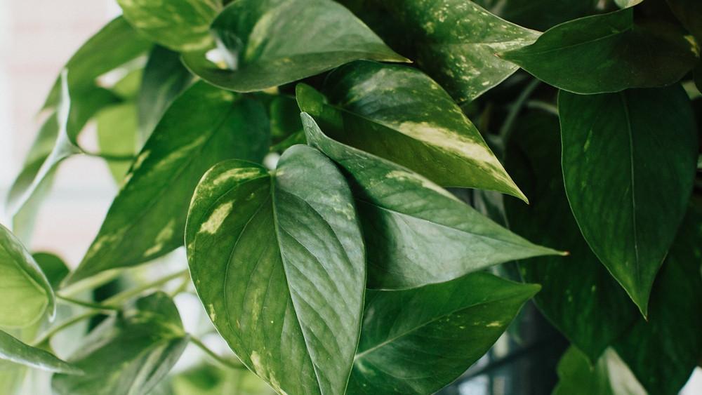 20 Best Office Plant - Pothos