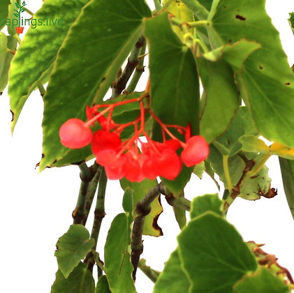 Begonia 'Dragon Wing Red' Plant