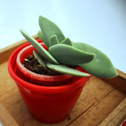 Crassula Falcata 'Propeller Plant'