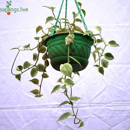 Dischidia Oiantha Variegata HangingPlant