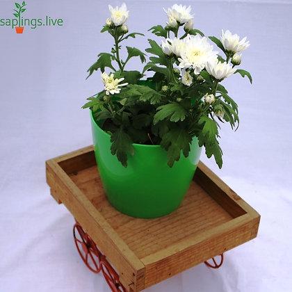 "Chrysanthemum Flowering Plant ""White"""