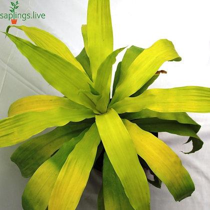 Dracaena Limelight Plant