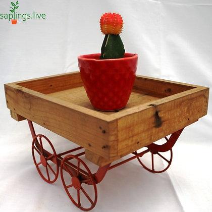 Moon Cactus or Ruby Ball Cactus (Orange-Yellow) Plant