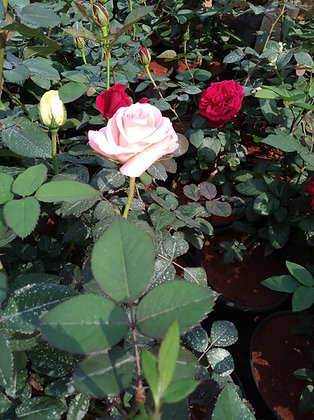 Scented Rose - Flowering Plant