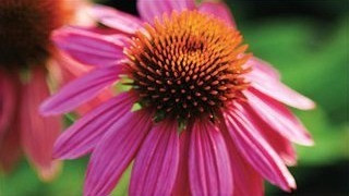 20 Best Low Maintenance Plant - Cone Flower Plant