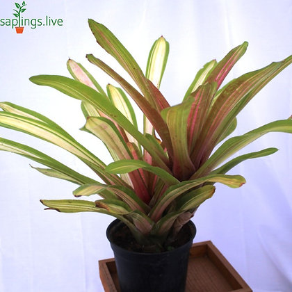 Guzmania Bromeliads (Pink) Plant