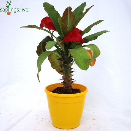 Euphorbia milii f. Lurea ( Red Crown of Thorns)