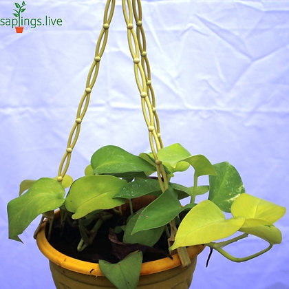 Golden Money Plant Hanging
