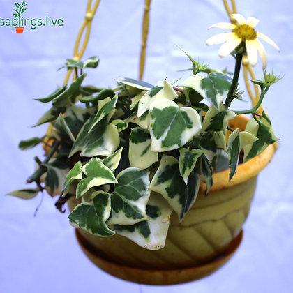 Senecio Wax Ivy Plant Hanging