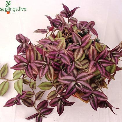 Wandering Jew Plant (Spiderwort, Inch Plant)