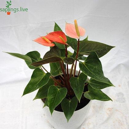 Anthurium 'Orange' Indoor Plant