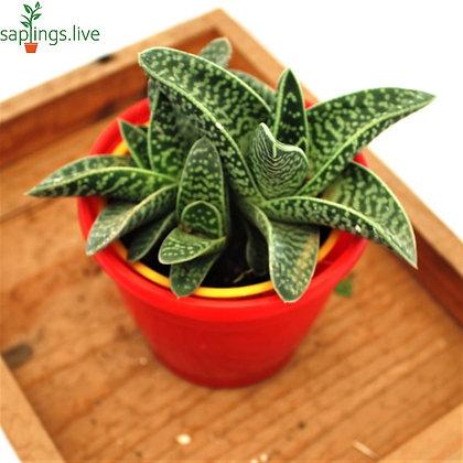 Gonialoe Variegata Plant
