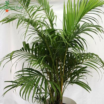 Areca Palm Plant 'Big'