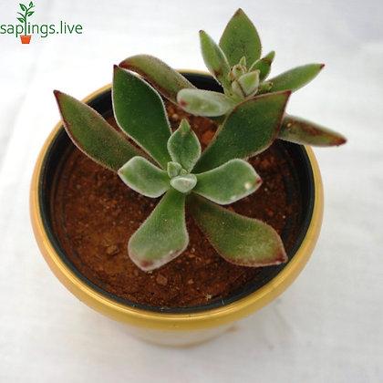 Echeveria 'Pulv-Oliver'(Red Echeveria)